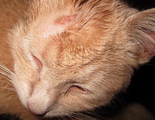Стригущий лишай у кошек фото