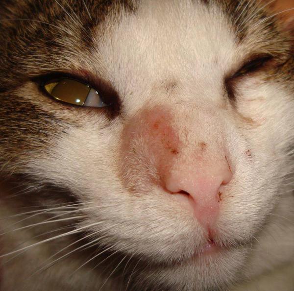 Стригущий лишай у кошек фото признаки и лечение