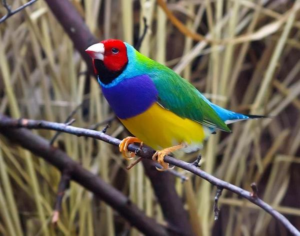 Фото Амадина – птичка с разнообразной яркой окраски